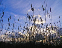 długo trawy. Obrazy Stock