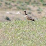 długodzioby Curlew ptak Fotografia Stock