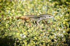 Długoogonkowa jaszczurka Fotografia Royalty Free