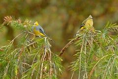 Długoogonkowy Flycatcher, Ptiliogonys caudatus, Ptasia para od Costa Rica Tanager w natury siedlisku Przyrody scena od Obrazy Royalty Free