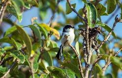 Długoogonkowy Tit ptak (Enaga) Zdjęcia Royalty Free