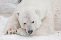 D'un air songeur se trouvant avec son visage sur ses pattes, ouvrant ses yeux L'ours blanc puissant se situe dans la neige, plan  photos stock