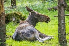 D'un orignal cultivez sur l'ed en Suède, femelle Photographie stock libre de droits