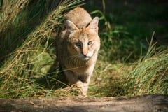 Dżungla kota Felis chaus Fotografia Royalty Free