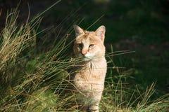 Dżungla kota Felis chaus Zdjęcie Stock