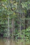 Dżungla zielony mangrowe Obrazy Stock