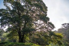 Dżungli drzewo Obraz Royalty Free