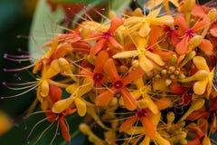 Dżungli ixora chinensis lamk Obrazy Royalty Free