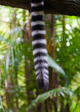dżungli lemura s ogon Zdjęcia Stock