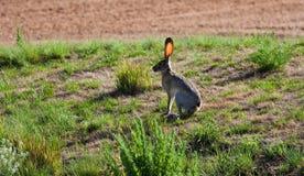 dźwigarka królik Fotografia Royalty Free
