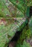 Dźwigowa komarnica Zdjęcia Stock