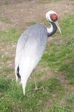 Dźwigowa ptasia pozycja na ziemi Obraz Stock