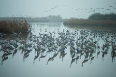 Dźwigowi ptaki Obraz Stock