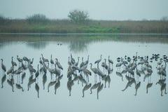 Dźwigowi ptaki Fotografia Royalty Free