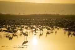 Dźwigowi ptaki w Agamon Hula ptaka schronieniu Zdjęcie Royalty Free