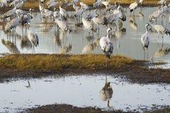 Dźwigowi ptaki w Agamon Hula ptaka schronieniu Fotografia Stock