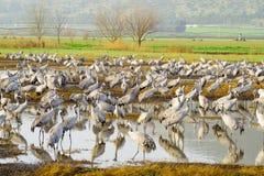 Dźwigowi ptaki w Agamon Hula ptaka schronieniu Zdjęcie Stock