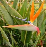 Dźwigowy kwiat Zdjęcie Royalty Free