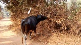 Dźwigowy obsiadanie na krowie Fotografia Stock