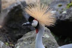 Dźwigowy ptak Obrazy Royalty Free