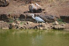 Dźwigowy ptak Zdjęcie Royalty Free