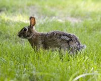 D46 Be Very Still. Rabbit hiding in the grass Royalty Free Stock Photos