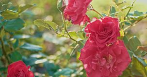 Dañado subieron las flores en jardín del otoño en el viento almacen de video