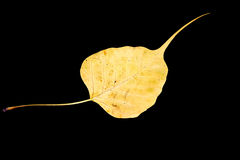 Dañe la vena amarilla de la hoja del bodhi en fondo negro Fotografía de archivo