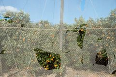 Daño de la tormenta en una plantación anaranjada greenhoused Fotos de archivo