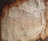 Daño del castor en tronco de árbol Imágenes de archivo libres de regalías