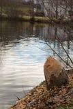 Daño del castor - tronco de árbol rechazado foto de archivo