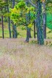 Da拉特, Lam Dong,越南2017年2月12日:da拉特城市, pinkgrass beautyful风景在杉木小山,草bbloo调遣 免版税库存图片