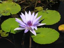 Da água duluxe lilly Imagens de Stock