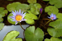 Da água fundo lilly Fotografia de Stock