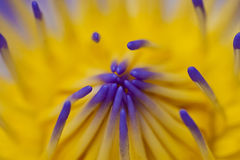 Da água macro roxo lilly Imagem de Stock Royalty Free