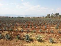 ` Da agave do ` Imagem de Stock