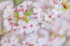 Da cópia colorida calma brilhante brilhante azul do close up da cereja da cerimônia do borrão das flores do fundo flo floral adia imagem de stock