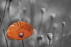 Día de la conmemoración de la amapola Fotos de archivo libres de regalías