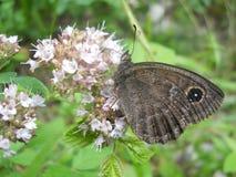 ` da férula de Satirus do ` da borboleta Fotografia de Stock