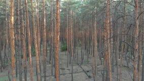 Da floresta interna do pinheiro do voo lento opinião aérea com zangão video estoque