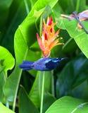 Da Flowerpecker sostenuto da color scarlatto Fotografie Stock