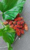 Da fruto el greap Imagen de archivo