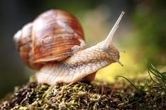 Da hélice do pomatia caracol romano igualmente, caracol de Borgonha foto de stock royalty free