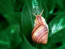 Da hélice do pomatia o caracol romano igualmente, caracol de Borgonha, caracol comestível ou escargot, é uma espécie de grande, c imagem de stock