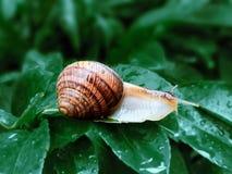 Da hélice do pomatia o caracol romano igualmente, caracol de Borgonha, caracol comestível ou escargot, é uma espécie de grande, c fotos de stock