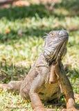 Da iguana fim acima Fotos de Stock Royalty Free