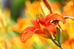 Da laranja lírios da flor lilly exteriores Foto de Stock Royalty Free