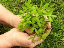 Da las plantas femeninas con un brote Imagen de archivo libre de regalías