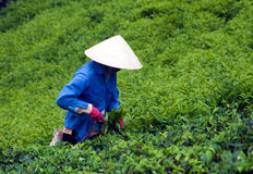 worker pick tea leaves at tea plantation. DA LAT,  Royalty Free Stock Image