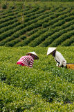 Worker pick tea leaves at tea plantation.DA LAT, V Stock Photography